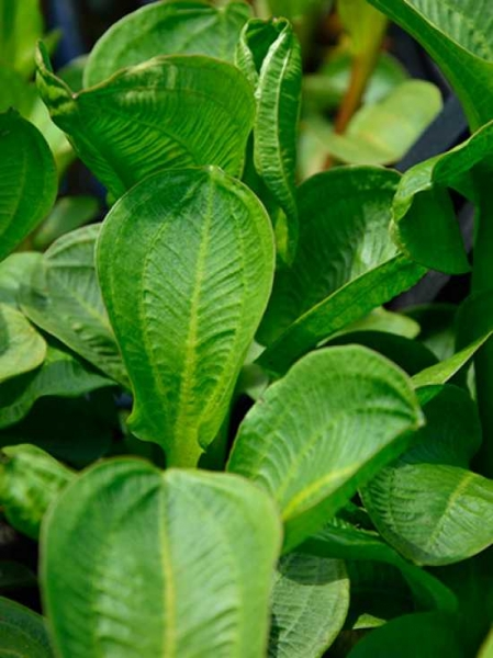 Alisma parviflora / Amerikanischer Froschlöffel / Rundblättriger Froschlöffel