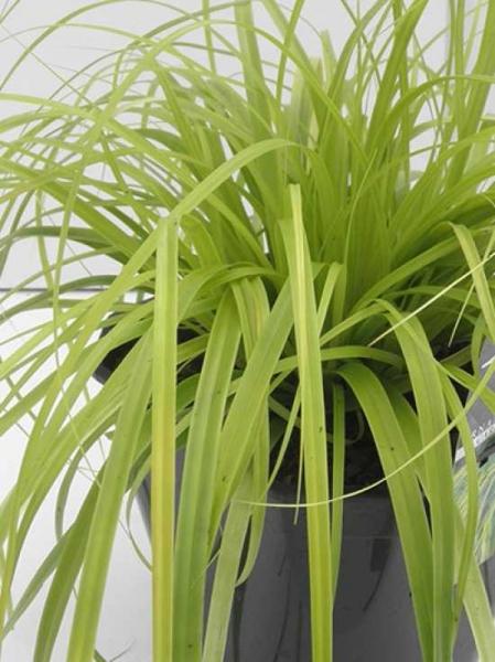 Carex oshimensis 'Everillo' / Gartensegge 'Everillo'