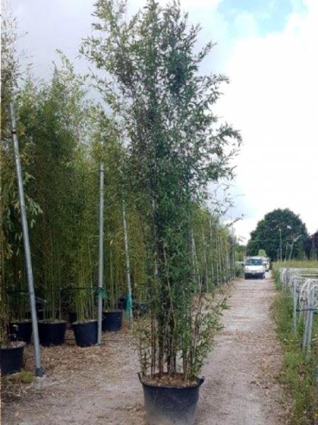 Phyllostachys nigra / schwarzer Bambus 350-400 cm im 90-Liter Container