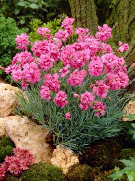 Dianthus plumarius 'Maggie' / Garten-Feder-Nelke