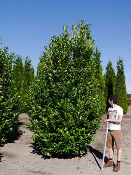 Prunus laurocerasus 'Rotundifolia' / Kirschlorbeer 'Rotundifolia' 350-400 cm Solitär mit Drahtballierung