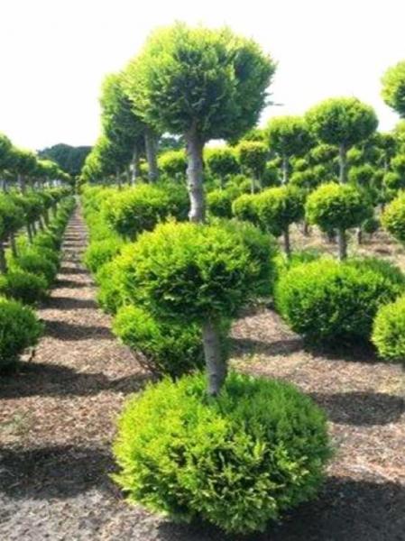 Chamaecyparis lawsoniana \'Alumii Gold\' 3-fach-Kugel / Garten-Bonsai ...