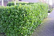 Rotundifolia-Hecke2597b36b0b74f4