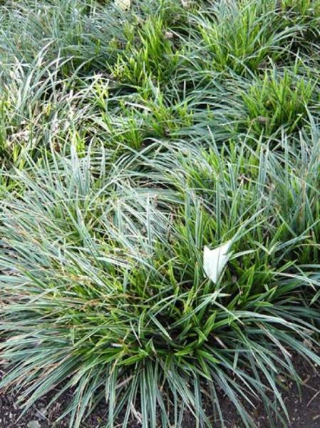 Carex morrowii 'Mosten' / Japansegge
