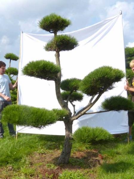 Pinus nigra ssp. nigra H: 240 cm B: 210 cm / Garten-Bonsai (201206)