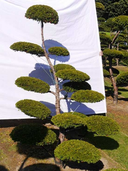 Taxus baccata 'Semperaurea' H: 200 cm B: 180 cm / Garten-Bonsai (0139)