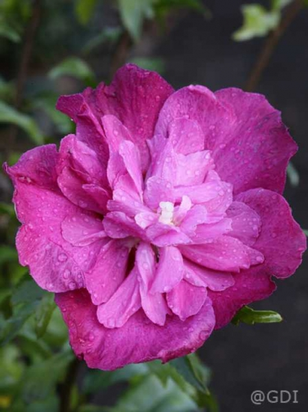 Hibiscus syriacus 'Purple Ruffles ®' / Garten-Eibisch 'Purple Ruffles'