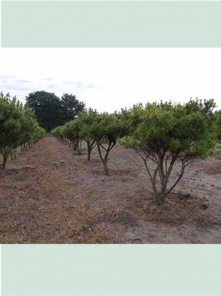 Pinus densiflora 'Umbraculifera' / Japanische Schirm-Rotkiefer (Schirmform)