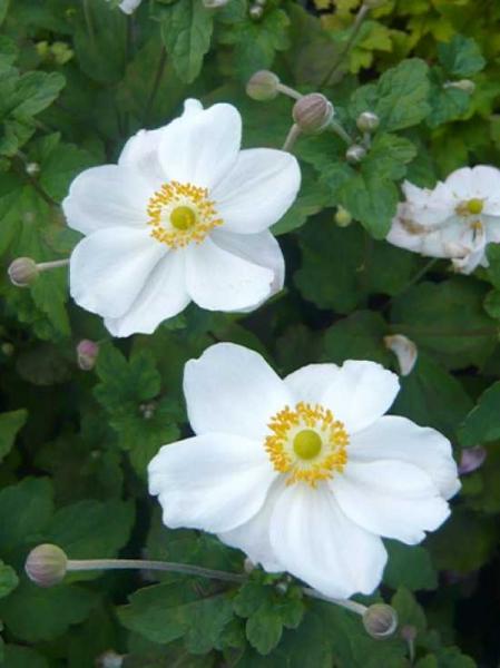 Anemone Hybride 'Honorine Jobert' / Herbst-Anemone, Japanische Herbst-Anemone