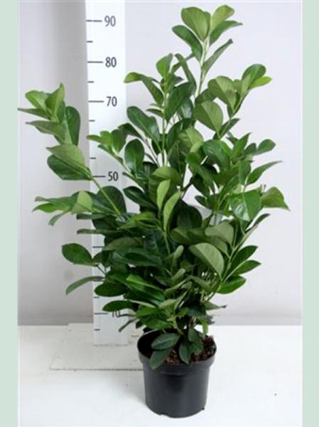 Prunus laurocerasus 'Etna' / Kirschlorbeer 'Etna' 80-100 cm im 5-Liter Container