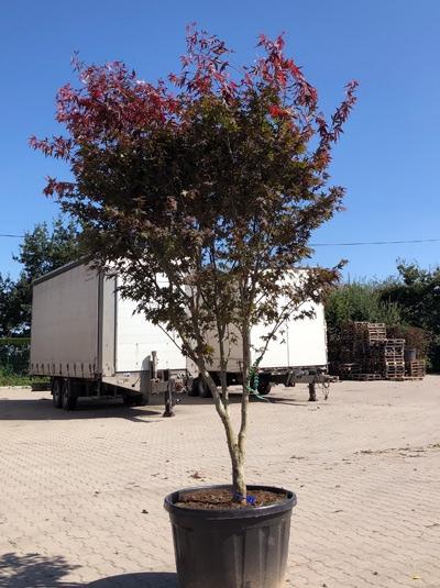 Acer palmatum 'Atropurpureum' / Roter Fächerahorn 300-350 cm (546807)