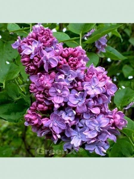 Syringa vulgaris 'Katherine Havemeyer' / Gartenflieder / Gewöhnlicher Flieder / Edelflieder