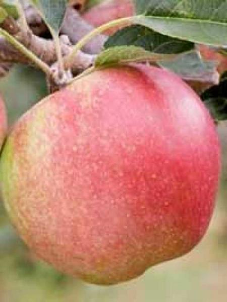 Malus domestica 'Laxton's Superb' / Apfel 'Laxton's Superb'