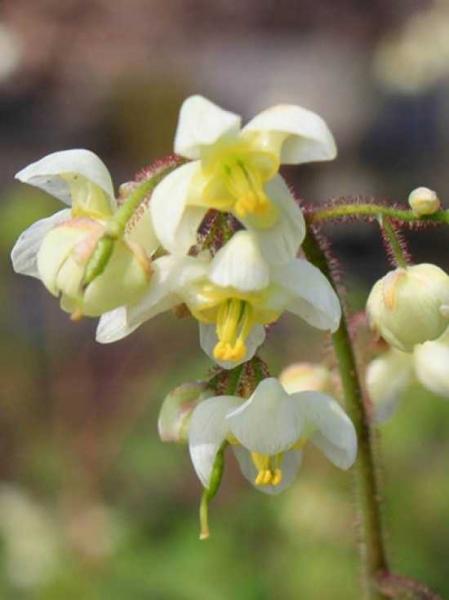 Epimedium pubigerum / Elfenblume