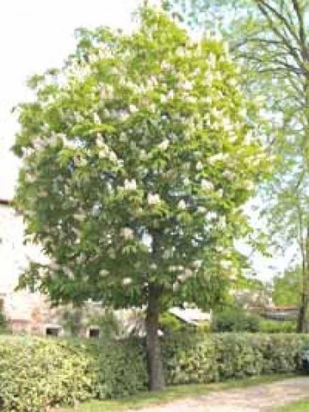 Aesculus flava 'Vestita' / Gelbe Pavie / Gelbe Rosskastanie