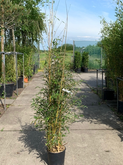 Phyllostachys aureosulcata 'Aureocaulis' / Goldener Peking Bambus 150-175 cm im 12-Liter Container