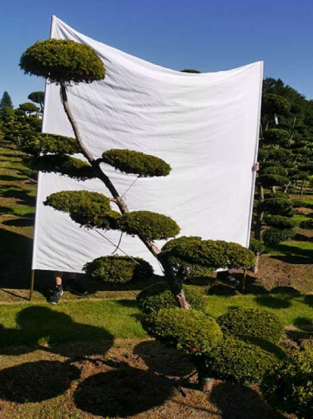 Taxus baccata 'Semperaurea' H: 220 cm B: 170 cm / Garten-Bonsai (0148)