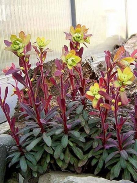 Euphorbia amygdaloides 'Purpurea' / Rotblättrige Garten-Wolfsmilch