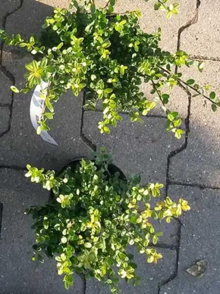 Ilex crenata 'Dark Green' / Buchsblättrige Japanische Hülse 'Dark Green' 20-25 cm im 2-Liter Container