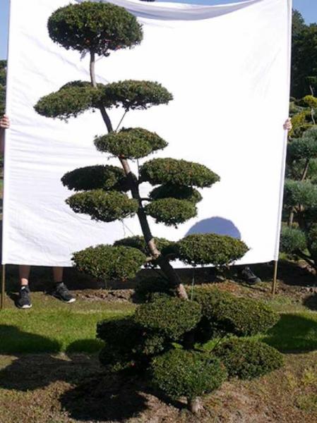 Taxus baccata H: 220 cm B: 130 cm / Garten-Bonsai (0166)