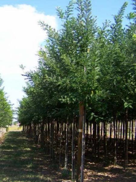 Sophora japonica 'Regent' / Schnurbaum 'Regent'