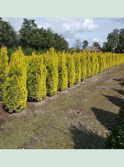 Thuja occidentalis 'Jantar' / Lebensbaum 'Jantar'