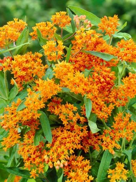 Asclepias tuberosa / Knollige Seidenpflanze