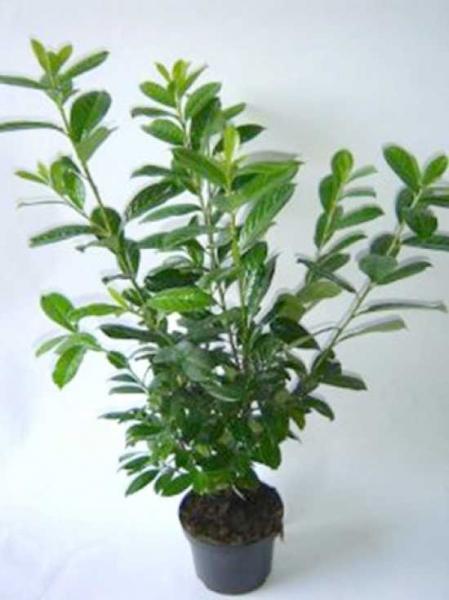 Prunus laurocerasus 'Novita' / Kirschlorbeer 'Novita' 80-100 cm im 7-Liter Container