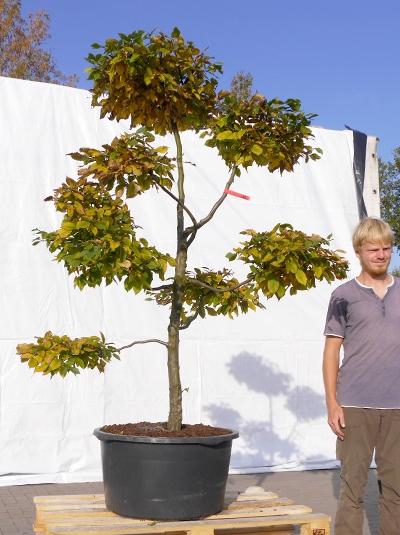 Carpinus betulus H: 170 cm B: 140 cm  / Gartenbonsai (3100)