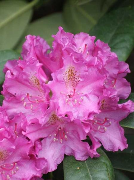 Rhododendron Hybride 'Ballfee' / Rhododendron 'Ballfee'