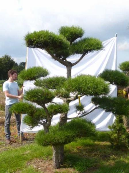 Pinus nigra ssp. nigra H: 250 cm B: 240 cm / Garten-Bonsai (201221)