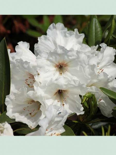 Rhododendron Hybride 'Snowkiss' / Rhododendron 'Snowkiss'