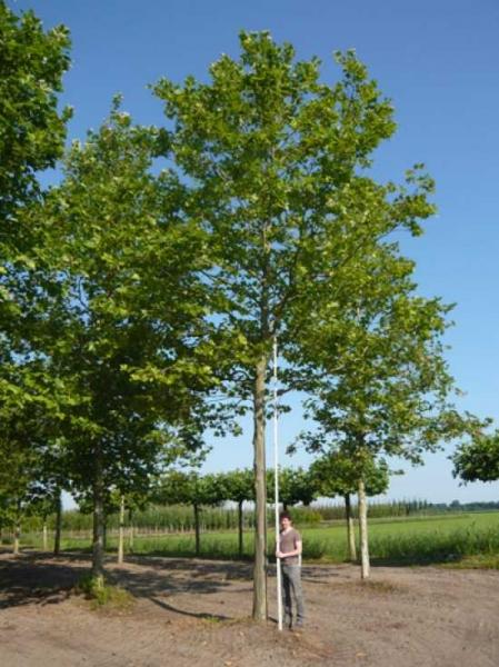 Platanus acerifolia 'Malburg' / Ahornblättrige Platane 'Malburg'