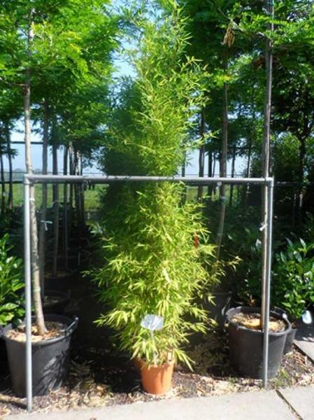 Phyllostachys aurea / Knoten-Bambus 175-200 cm im 12-Liter Container