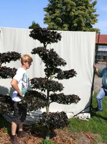 Fagus sylvatica 'Purpurea' H: 230 cm B: 130 cm / Garten-Bonsai (701101)