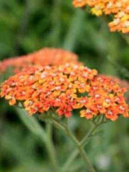 Achillea millefolium 'Terracotta' / Schafgarbe 'Terracotta'