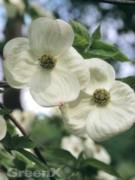 Cornus nuttallii / Nuttalls Blüten-Hartriegel