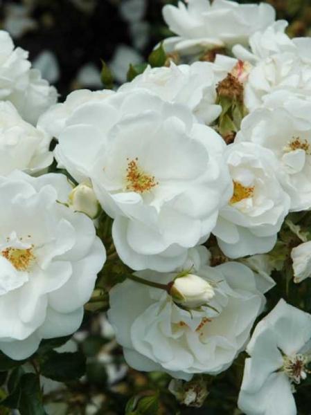 Rosa 'Innocencia ®' / Beetrose 'Innocencia'