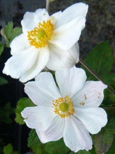 Anemone hybride 'Whirlwind' / Herbst-Anemone 'Wirbelwind'