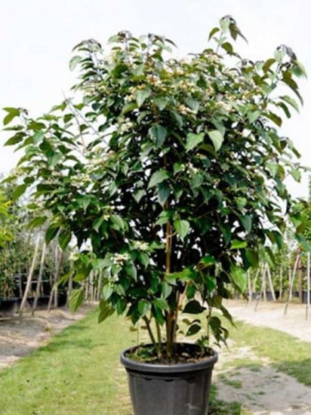 Clerodendrum Trichotomum Purple Blaze Japanischer Losbaum