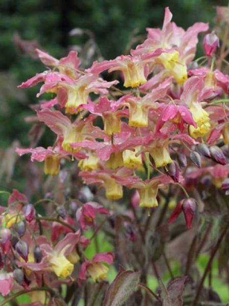 Epimedium versicolor 'Cupreum' / Elfenblume