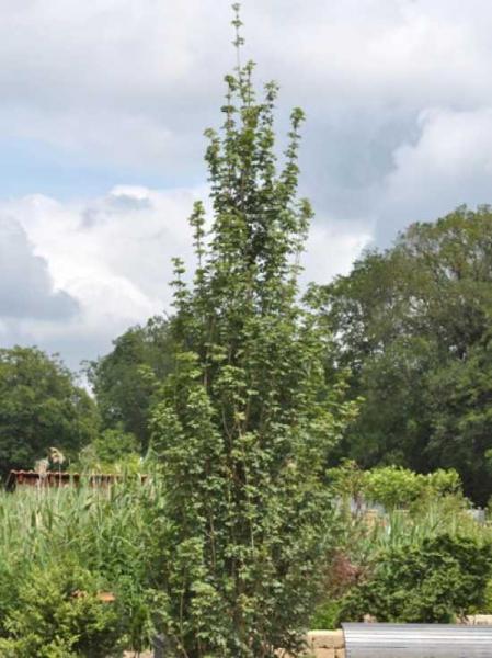 Acer campestre 'Fastigiata' / Säulen-Feld-Ahorn