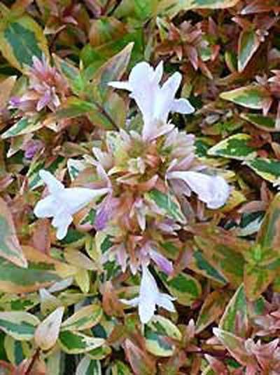 Abelia grandiflora 'Kaleidoscope' / Großblumige Abelie 'Kaleidoscope'