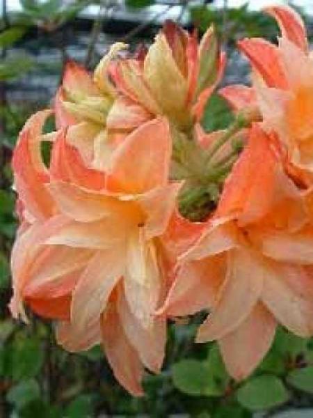Azalea luteum 'Frans van der Bom' (Knap-Hill) / Laubabwerfende Azalea 'Frans van der Bom'