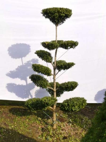 Buxus sempervirens H: 170 cm B: 80 cm / Garten-Bonsai (0085)
