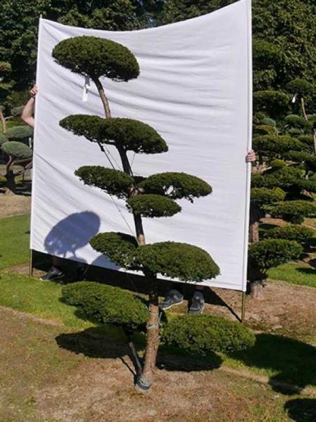Taxus media 'Hillii' H: 210 cm B: 120 cm / Garten-Bonsai (0161)
