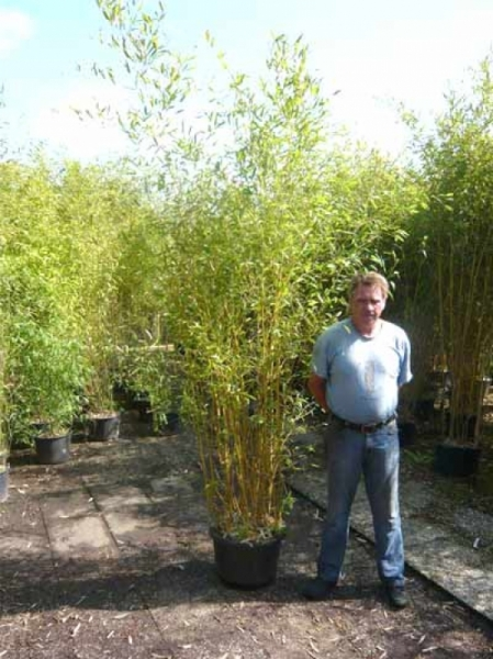Phyllostachys aureosulcata 'Aureocaulis' / Goldener Peking Bambus 250-300 cm im 35-Liter Container