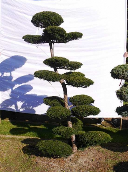 Taxus media 'Hillii' H: 200 cm B: 110 cm / Garten-Bonsai (0198)