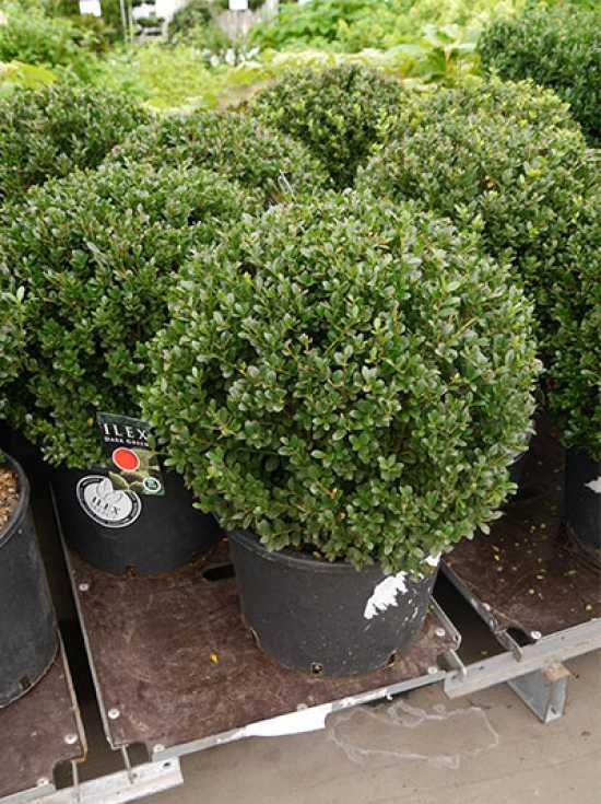 ilex crenata 39 dark green 39 kugel buchsbl ttrige japanische h lse 39 dark green 39 kugel 55 60 cm. Black Bedroom Furniture Sets. Home Design Ideas