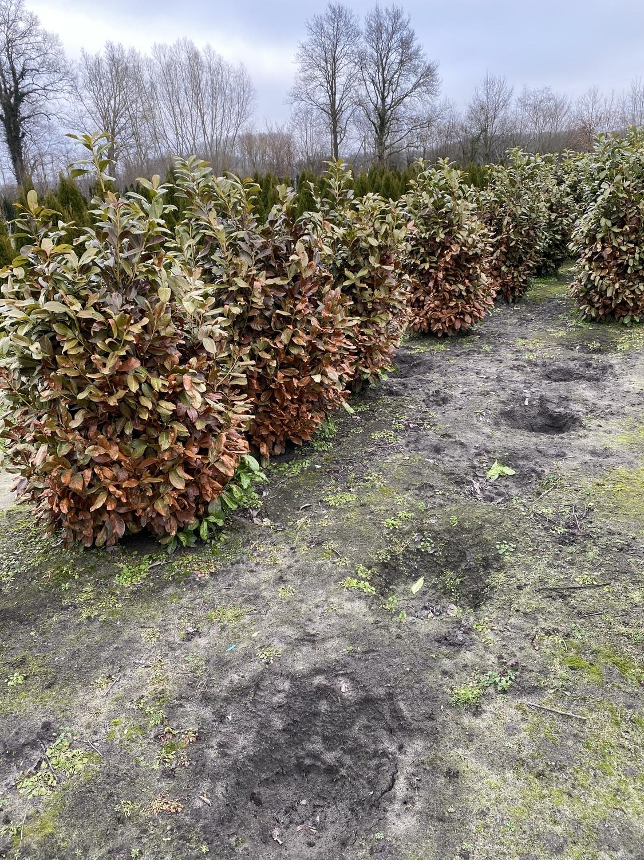 Frostschaden-Rotundifolia